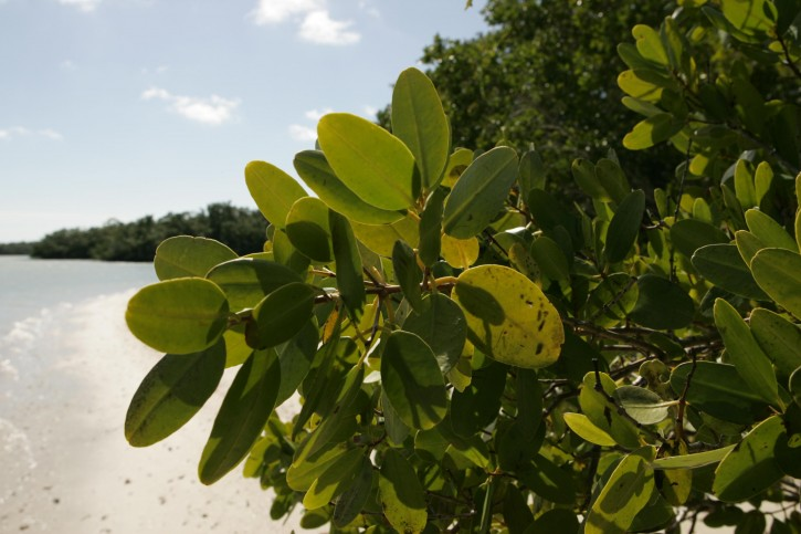 Red Mangrove Leaves - Public Domain
