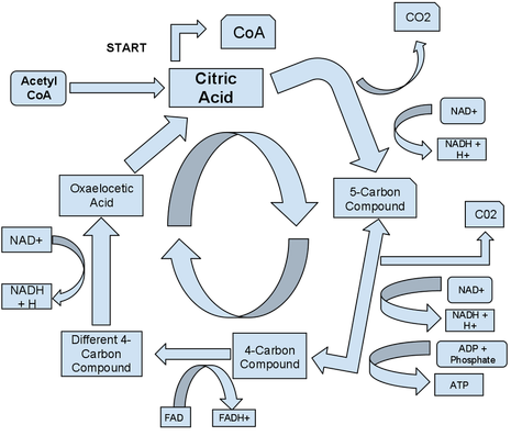 A diagram showing the process of the Krebs Cycle converting citric acid acetyl CoA NAD NADH NAD+