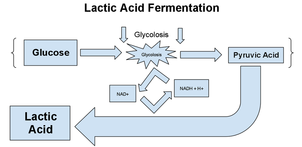 A diagram showing the formula for the process of lactic acid fermentation
