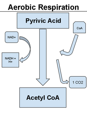 Aerobic respiration A diagram detailing the process of converting pyruvic acid into acetyl CoA